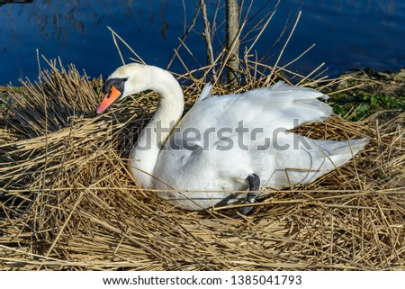 A swan sitting on its nest. The nest is large and made of reeds, and there is blue water behind.
