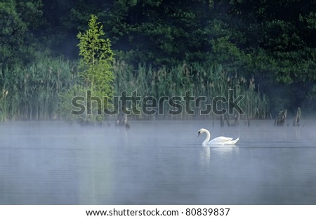 a swan swimming on a pond in the morning mist