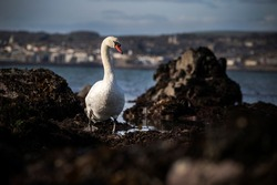 A Swan walking across a rockpool with the sea behind it