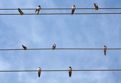 A swarm bird sits on streamlines. Swallows on power cables