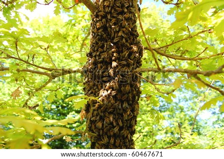 A swarm of bees on an oak tree