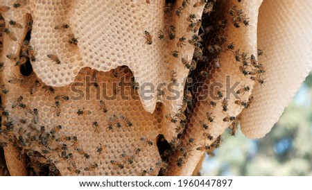 A swarm of bees on honey cells in a  honeycomb in a beehive. Bees turn nectar into honey. Pollinating flowers in the Golan heights Israel. Close up of bees colony working and flying around in teamwork Stock photo ©
