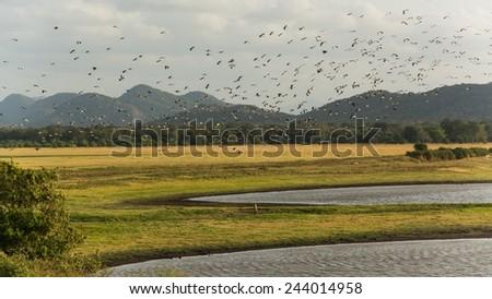 A swarm of birds over fields in sri lanka