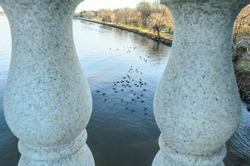 A Swarm of Ducks Swimming in Potomac River Calm Waters.Birds  View Through Arlington Bridge Neoclassical Barriers in Washington DC, USA