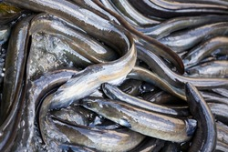 A swarm of freshwater eels in a river in New Zealand search for food.
