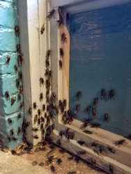 A swarm of mormon crickets gather below a window sill outside.