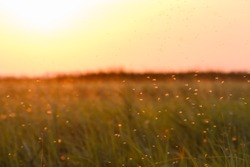 A swarm of mosquitoes in a summer sunset over a meadow. Insects like mosquitoes can be quite annoying when you want to enjoy a nice evening.