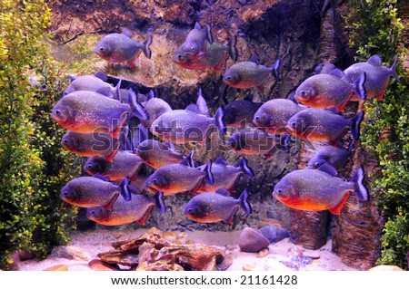 A swarm of piranha fish