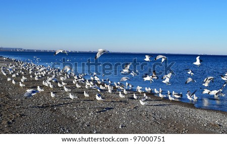 A swarm of seagulls sitting and flying on beautiful blue water of the lake  Ontario, in Hamilton, Canada.