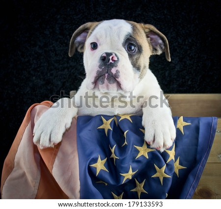 A sweet Bulldog puppy sitting in a crate with an American flag on a black background.