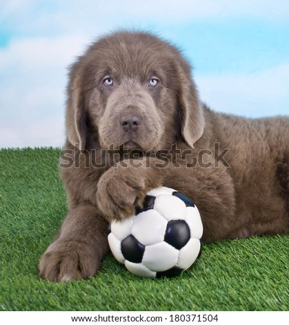 A sweet Newfoundland Puppy that looks like he is ready to play Soccer.