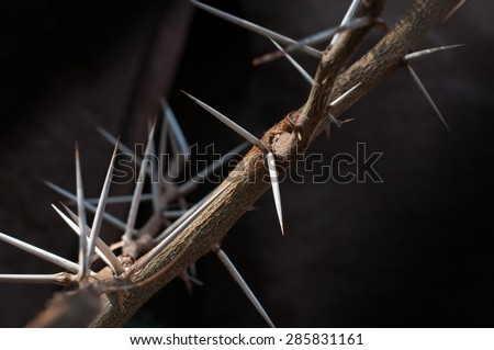 A sweet thorn (Acacia karroo) tree branch full of sharp and menacing thorns.  The fast growing sweet thorn tree is common in South Africa where it is often used as forage and fodder for animals.