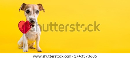 a Sweets lover heart breaker dog  Jack Russell terrier eating red heart shaped caramel candy lollipop. Yellow bright background. Romantic feeling concept. confectionery shop horizontal long banner.   Photo stock ©