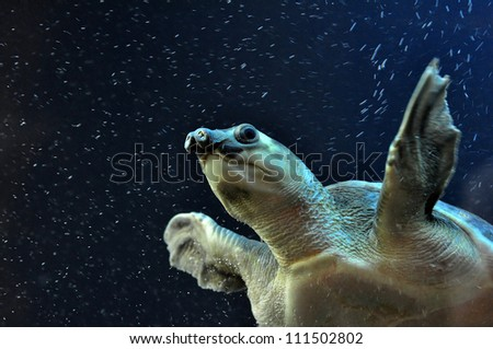 A swimming pig nosed turtle