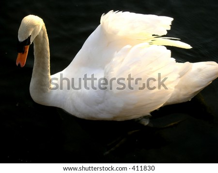 A swimming swan at sunset in Hamilton Bay Lake Ontario. Very noticeable is the dirty white color of the swan head and neck. It is result of the human activities in polluted the water.