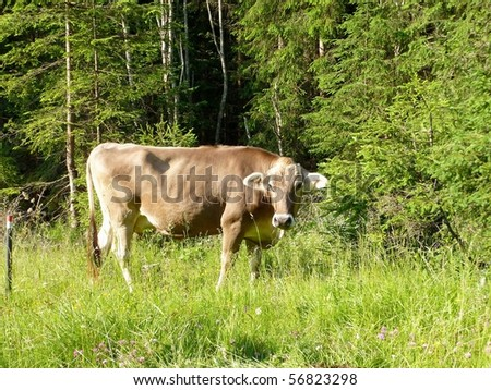 A swiss cow in the Alps