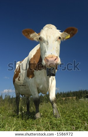 A Swiss dairy cow, with the traditional bell around her neck, high in the pastures of the Jura mountains. A little bit of mountain scenery can be seen behind.