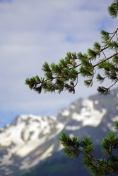 a swiss stone pine or pinus cembra with cones in the foreground and the alps in the background