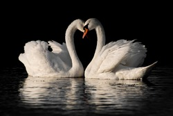 A symbol of love and fidelity is a beautiful pair of heart-shaped swans (Cygnus olor). On a black background.