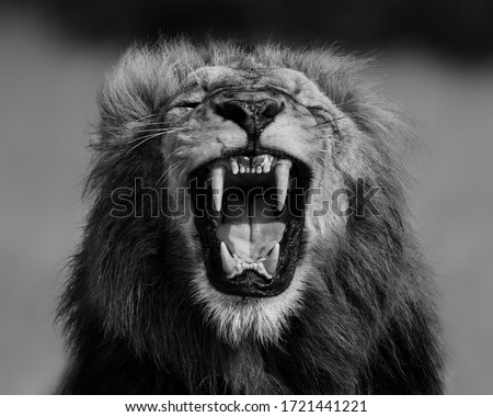 A symmetrical image of a male Lion roaring, showing his canines. Foto stock ©