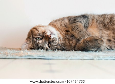 A tabby cat lies on a rug acting silly, image slightly toned/Funny Cat/A funny tabby cat
