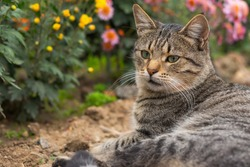 A tabby cat lies on the ground among flowers. Grey cat among the chrysanthemums in the garden. Rest and relaxation. Street homeless cat. Close-up portrait in profile. Autumn composition.