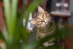 A tabby cat looking at a plant it wants to eat. Edible plant for cats.