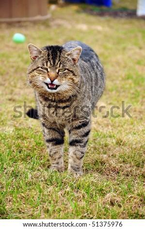 a tabby cat walks on green grass