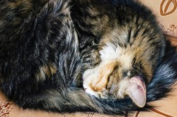 A tabby domestic cat sleeps curled up on the couch.