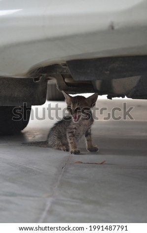 A tabby is any domestic cat with a distinctive 'M' shaped marking on it's forehead, stripes by its eyes and across cheeks, along back,and around its legs and tail. Common. India. Kitten. Stock fotó ©