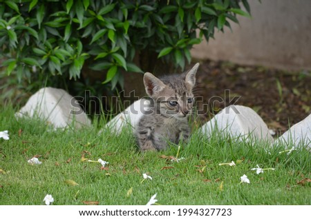 A tabby is any domestic cat with a distinctive 'M' shaped marking on it's forehead, stripes by its eyes and across cheeks, along it's back,and around legs and tail. Common. India. Kitten. Stock fotó ©