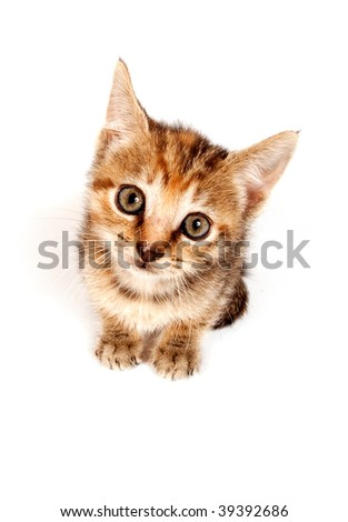 A tabby kitten looking up on white background.