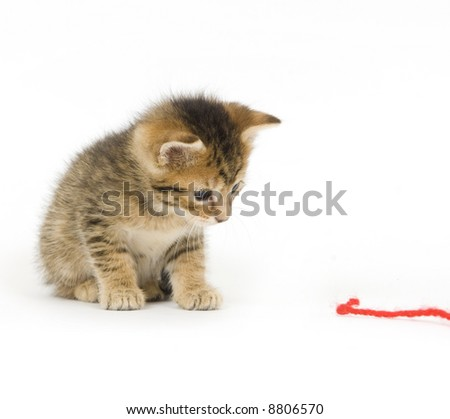A tabby kitten plays with a piece of red yarn on a white background