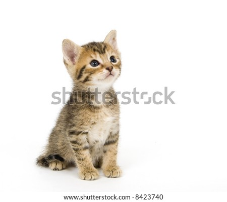 A tabby kitten sitting on a white background