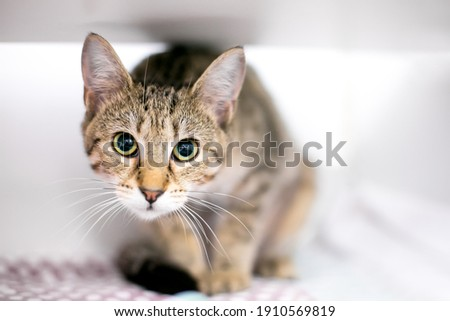 A tabby shorthair cat in a crouching position with a wide eyed expression and dilated pupils Сток-фото ©