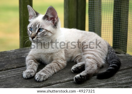 Siamese mix cat personality images amp pictures becuo