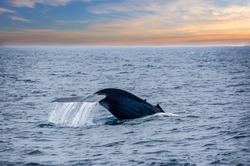 A tale of a blue whale beautifully emerges from the ocean by Mirissa bay, southern Sri Lanka.