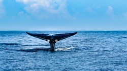 A tale of a whale beautifully emerges  from the ocean by Mirissa bay, southern Sri Lanka.