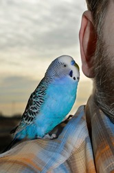 A talking parrot sits on the shoulder, next to the man's ear. The budgie whispers in the owner's ear. Trusting relationships between humans and bird.