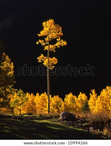 A tall aspen tree in the White River National Forest, Colorado.