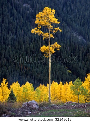 A tall aspen tree in the White River National Forest of Colorado.