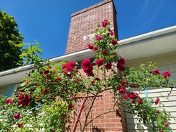 A tall rose bush that's in full bloom and standing in front of a brick chimney at a suburban home. There's a long, red rake also leaking against the home that's used for gardening the roses.