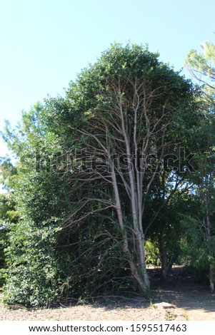 A tall tree trimmed down the center revealing the branching, lung like structure of the trunks and branches in North Carolina, USA