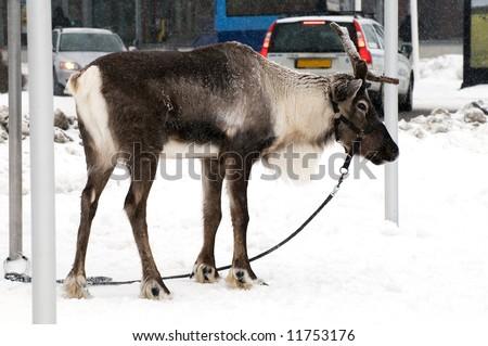 a tame swedish reindeer on a leach