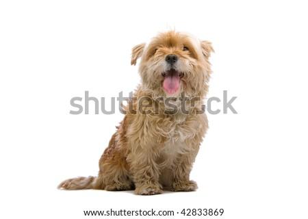 Small Hairy Dog Breeds