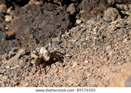 A Tarantula crosses a gravel path at Valley of Fires NRA in New Mexico.