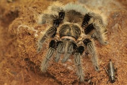 A tarantula is showing aggressive behavior. All types are venomous, but not lethal to humans.