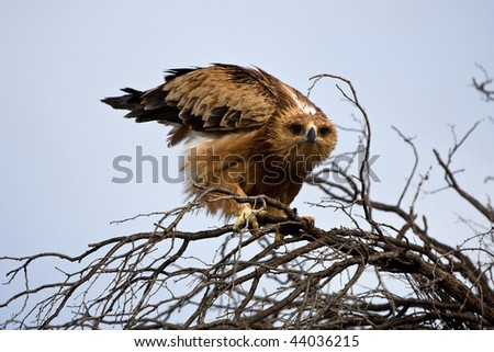 a tawny eagle shaking his feathers in kgalagadi transfrontier park, south africa