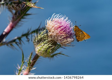 A Tawny-edged Skipper butterfly sips nectar from a Horrible (Bristle) Thistle in Merritt Island National Wildlife Reserve, Titusville, FL (USA)