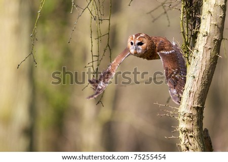 A tawny owl flying through the trees in a forest
